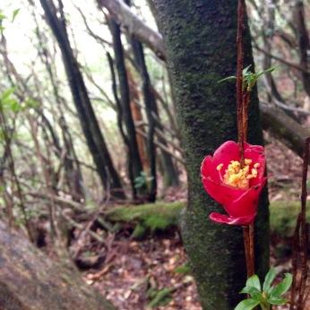 """""""Ringo Tsubaki"""" - An Apple Camellia"""